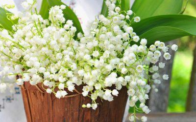 1er mai, jour du muguet ou lis des vallées (May Day Lily)